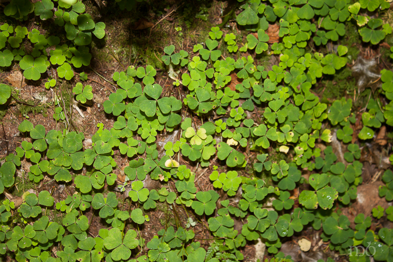 Shamrocks at the foot of St. Patrick's Chair